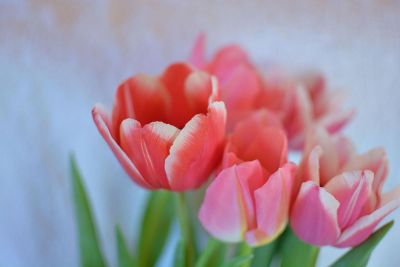 salmon colored tulips