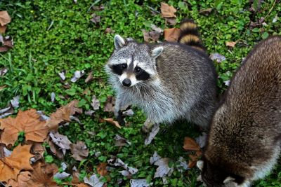 racoons outisde