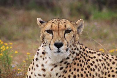 annoyed cheetah