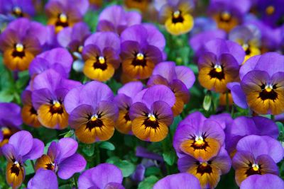 grouping of purple and yellow violets