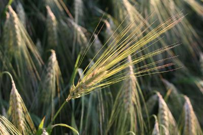close up of wheat grass