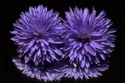 purple zinnias