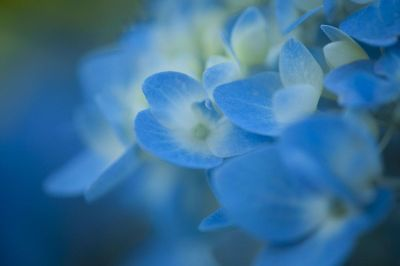 grouping of small blue flowers
