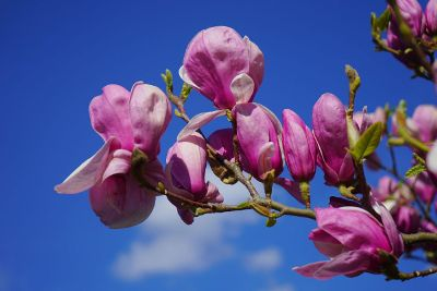 purple magnolias