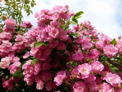 pink bush in bloom