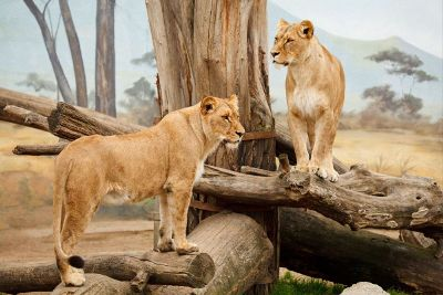 lions on logs