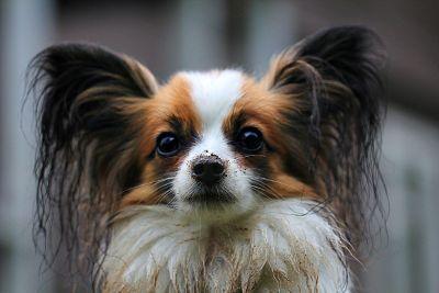 muddy dog with fluffy ears