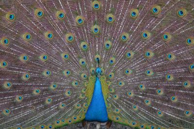 a peacock fanning its tail feathers