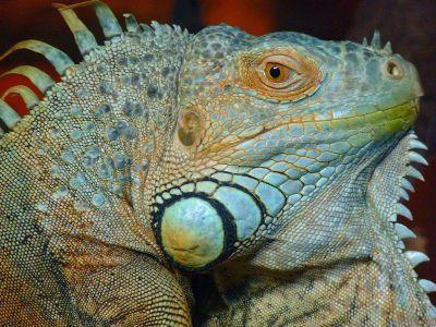 iguana staring at the camera