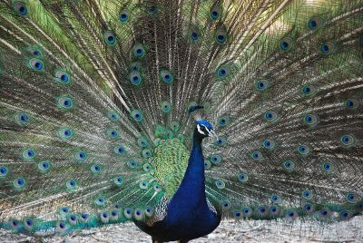 peacock with feathers fanned