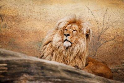 lion in desert