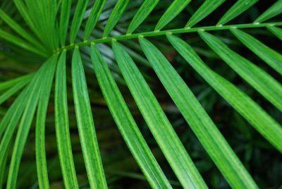green palm leaf close up