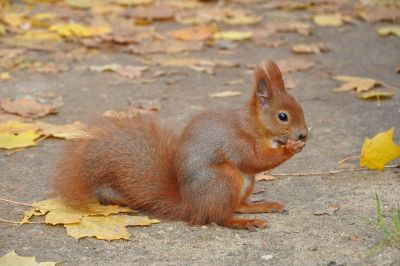 red squirrel eating a nut