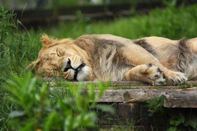 sleeping female lion