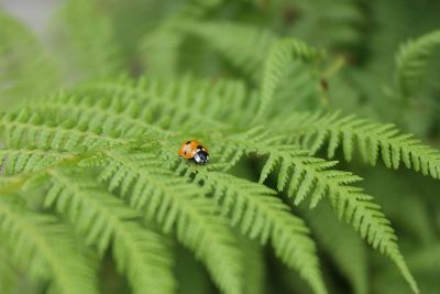 orange ladybug on fern leaves