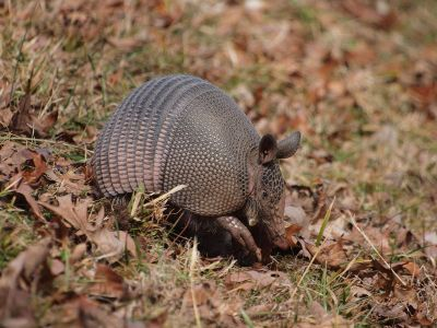 an armadillo in a field