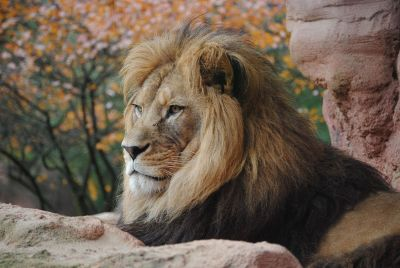 a lion laying on a rock