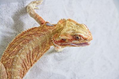 yellow and red lizard