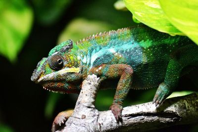 colourful chameleon body