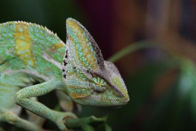 green chameleon holding a branch