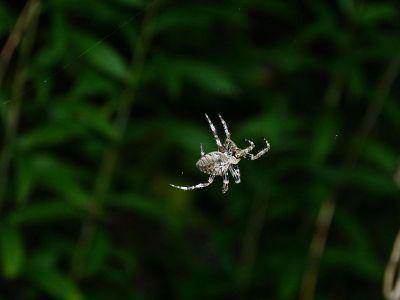 grey spider