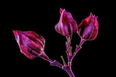 rose yet to bloom