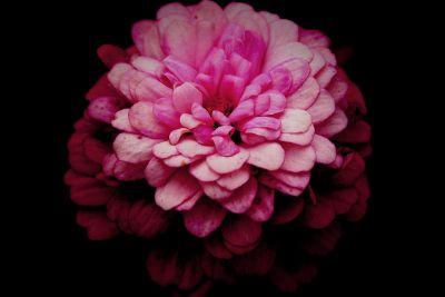 a single fluffy pink flower