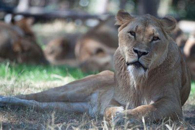lounging lion