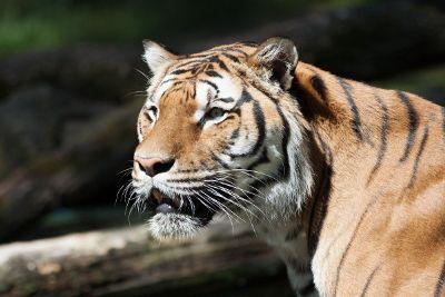 upclose tiger