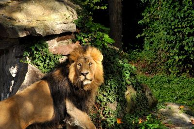 lion by the rocks