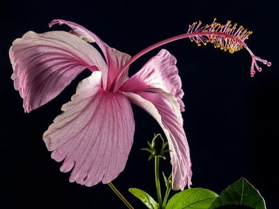 dry hibiscus