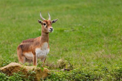 antelope standing in field
