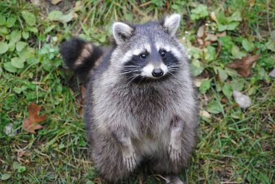 sweet raccoon