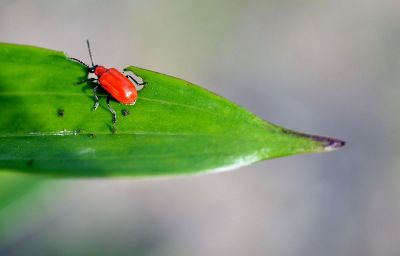 red bug on leaf