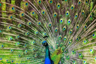peacock with outstretched tail