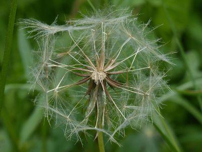 dandelion tufts