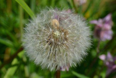 fluffy dandelion