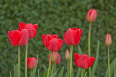 red tulips against green background
