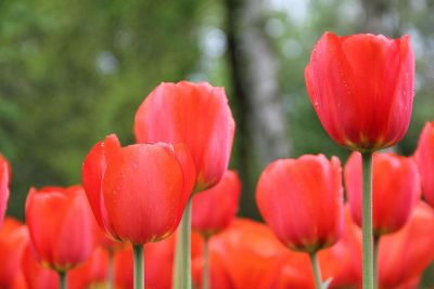 red tulip blossoms