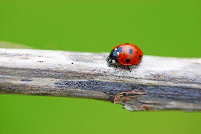 ladybug on stick