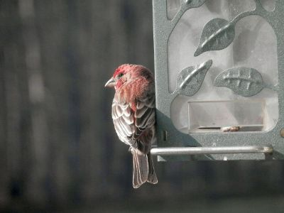 red bird perched on feeder