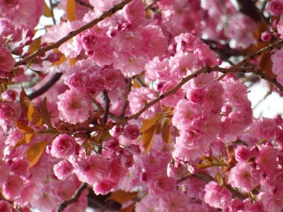 pink blossoms on tree