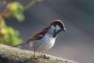 looking sparrow