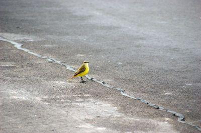 yellow bird in road