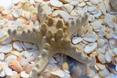 starfish resting on shells