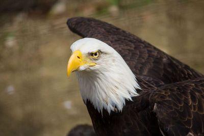 bald eagle of america