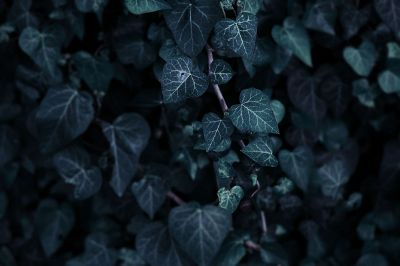 dark green ivy