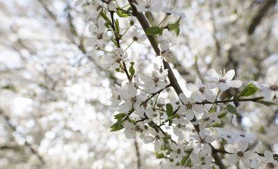 dogwood branch in bloom