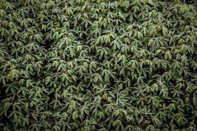 marajuana leaves