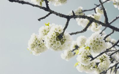 tree with white blooms